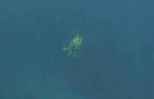 sea turtle guadeloupe