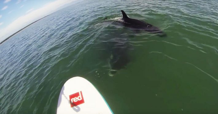 VIDEO: 2 Orcas Dancing Around Stand Up Paddlers