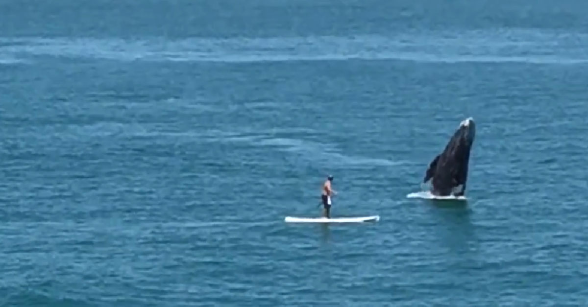 Whale breaches next to a paddle boarder in California!