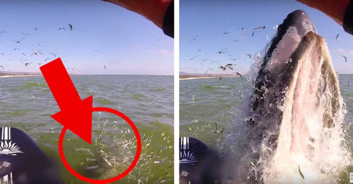 Humpback Whale Nearly Collides with a Stand Up Paddler