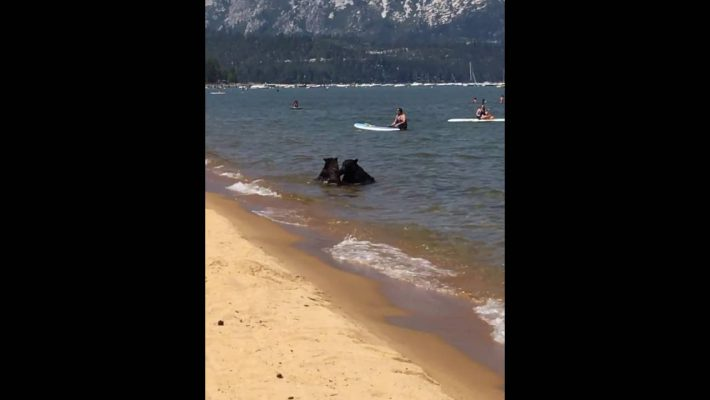 Lake Tahoe is a famous spot for … bears