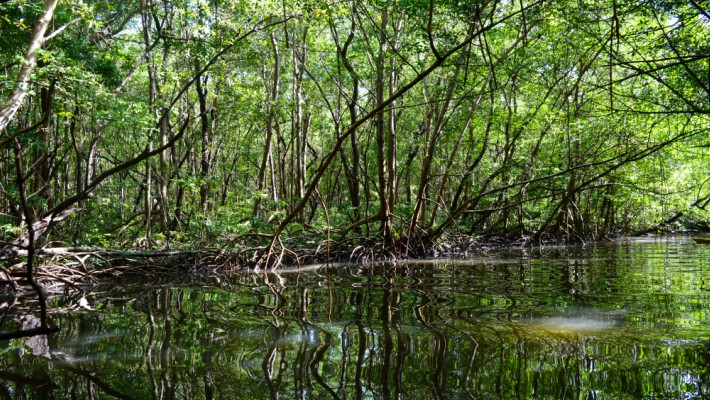Deep within the Canal des Rotours' mangroves